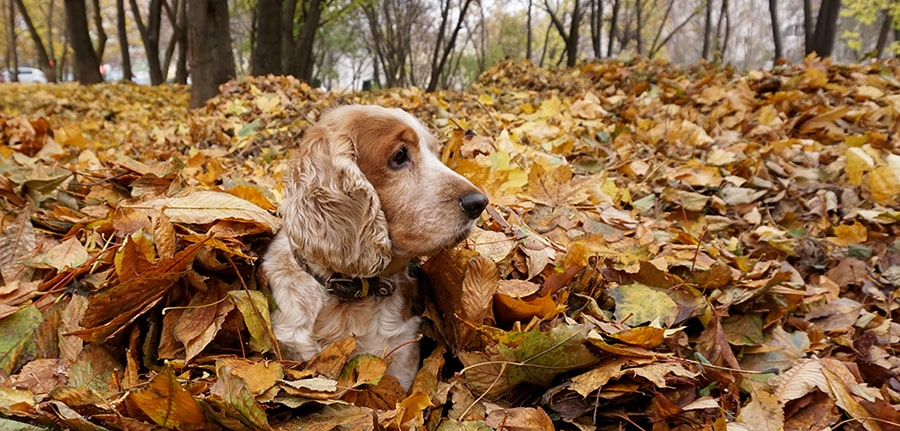 dog laying down in pile of leaves