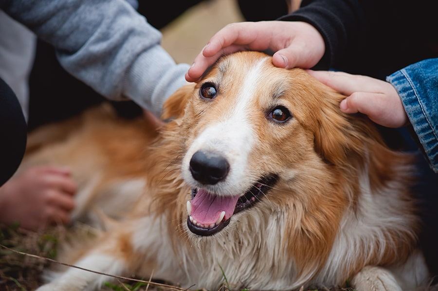 collie getting pet