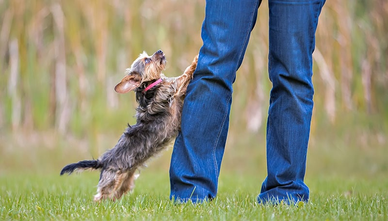 yorkie dog jumping on leg