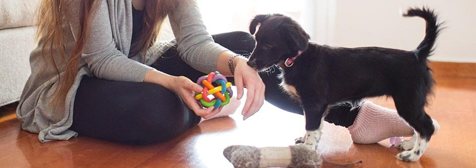 small black dog playing with owner and toy